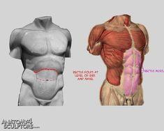 torso musculatura