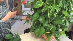 Da li i vi gajite biljku novca: zlatna puzavica filtrira vazduh i donosi sreću!