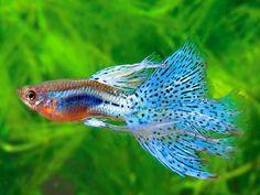 Guppy-Guppy es una de las especies de peces de acuario de agua dulce más populares del mundo. Es un pequeño miembro de la familia Poeciliidae (hembras 4-6 centímetros (1.6-2.4 pulgadas) de largo, machos 2.5-3.5 centímetros (1.0-1.4 pulgadas) de largo) y como todos los otros miembros de la familia, es vivo.