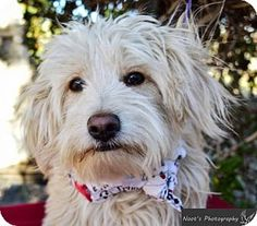 Lhasa Apso Dog for adoption in Castaic, California - Duffy