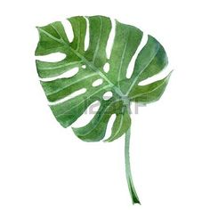 watercolor  hand drawn monstera leaf Stock Vector - 33810329