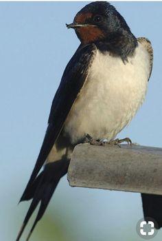Swallow, Taxidermy, Beautiful Birds, Reptiles, Wildlife, Creatures, Animals, Birds, Pictures