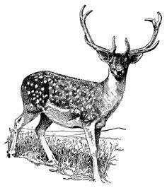Deer   Antique Animal Illustrations Royalty Free Stock Photo