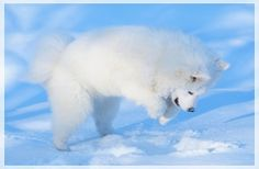 Interesting Facts about Samoyed Dog Breed
