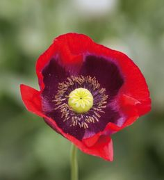 Buy Poppy somniferum Mix from Sarah Raven: I love poppies and none more so than these whoppers, elegant opium poppies, with the pods almost as handsome as the flowers in a deep, rich array of colours. Red Poppies, Red Flowers, Pretty Flowers, Flora Garden, Garden Plants, Poppy Images, Poisonous Plants, Remembrance Day, Flower Seeds