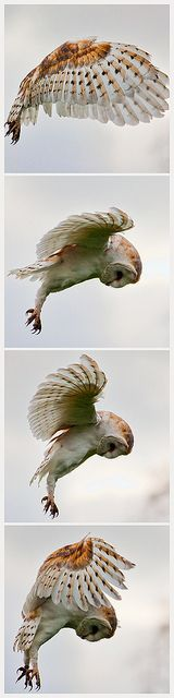 Barn Owl by zoe radha, via Flickr Owls are fascinating