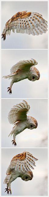 Barn Owl | Flickr                                                       …