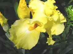 http://www.okprairie.com/Images/Photos%20II/Yellow%20Iris.jpg