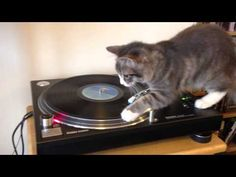 Te presentamos a Vinyl, el primer gato Dj - http://dominiomundial.com/te-presentamos-vinyl-el-primer-gato-dj/?utm_source=PN&utm_medium=Pinterest+dominiomundial&utm_campaign=SNAP%2BTe+presentamos+a+Vinyl%2C+el+primer+gato+Dj