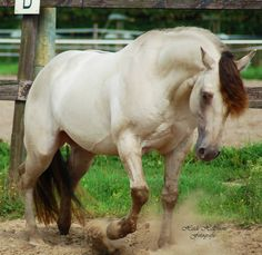 Triple Jet Cee Jay - Classic (champagne) grullo AQHA stallion Ee/aa/CHn/Dn. This magnificent stud is owned by Heidi Siobhail Hellemons