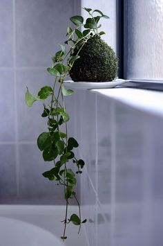 kokedama - I like this idea of standing them on a saucer instead of suspending them..easier to keep moist.