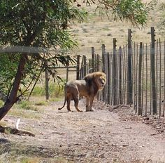 Cape Town, Lions, In Dire Need, Care For All, Peaceful Life, Wild Nature, Leopards, Park, South Africa