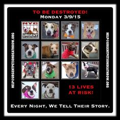 TO BE DESTROYED: 13 beautiful dogs to be euthanized by NYC ACC- MON 3/09/15. This is a VERY HIGH KILL shelter group. YOU may be the only hope for these pups! ****PLEASE SHARE EVERYWHERE!To rescue a Death Row Dog, Please read this: http://urgentpetsondeathrow.org/must-read/ To view the full album, please click here: https://www.facebook.com/media/set/?set=a.611290788883804.1073741851.152876678058553&type=3