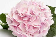 pale pink hydrangea - Google Search