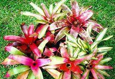 LIVE BROMELIAD PLANT!