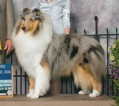 CASTLEBAR COLLIES... AKC Breeder Rough Collie and Smooth Collie Champions