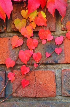 the back side of our house was covered in vines. in the summer, lush deep greens, changing to shocking hues of yellow, orange, and red in the fall. one little photo can evoke such memories...