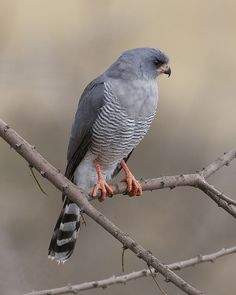 Gabar Goshawk - Micronisus gabar - Found throughout much of the African continent, this bird of prey is of the family Accipitridae. Its preferred habitats are wooded savannas, thorn bush and open woodlands; occasionally near urban areas - Credit : Lip Kee / September 2, 2012 - Flickr - taken near Mt Kilamanjaro, Kambi ya Tembo, Tanzania