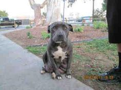 DOWNEY, CA....****MEDICAL EMERGENCY!****  MAMA IS BLEEDING IN HER KENNEL, SHE IS NOT WELL. SHE RECENTLY GAVE BIRTH AND ONLY TWO PUPS SURVIVED. PUPS ARE IN FOSTER CARE DUE TO HER POOR HEALTH. NEEDS URGENT RESCUE!!   (pups in next two pics)   Impound No: A4560179, Sex: Female,   Primary Breed: PIT BULL,   Age: 2 Years,   Location: BALDWIN,   Cage No.: B103
