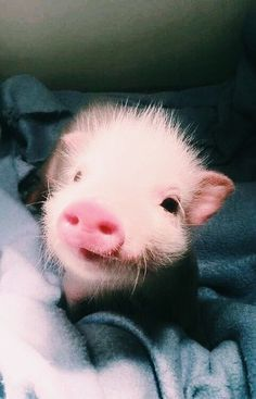 baby pigs adorable / baby pigs baby pigs teacup baby pigs adorable baby pigs videos baby pigs in a blanket baby pigs for sale baby pigs wallpaper baby pigs piglets Baby Animals Pictures, Cute Animal Pictures, Animals And Pets, Pink Animals, Happy Animals, Nature Animals, Cute Baby Pigs, Cute Babies, Baby Piglets