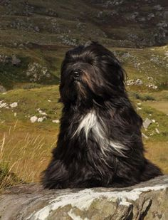 Tibetan Terrier dog art portraits, photographs, information and just plain fun. Also see how artist Kline draws his dog art from only words at drawDOGS.com #drawDOGS http://drawdogs.com/product/dog-art/tibetan-terrier-dog-portrait-by-stephen-kline/ He also can add your dog's name into the lithograph.