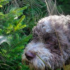 Man oh man, don't ever do what I just did. I was too curious to explore a spider home, so. now I am stuck and can't get the sticky stuff of my nose. Guess I will do it again, LOL.   #LagottoRomagnolo #spidernet #nose #stuck #wuffclickpic Spider Net, House Spider, Lagotto Romagnolo, Dog Mom Gifts, Dog Hacks, Nature Pictures, Dog Owners, Chanel, Explore