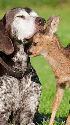 A fawn and a German Shorthair Pointer - Cutest Paw Animals And Pets, Baby Animals, Funny Animals, Cute Animals, I Love Dogs, Cute Dogs, Dog Itching, Tier Fotos, Old Dogs
