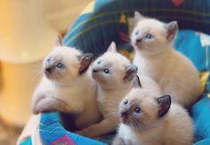 beautiful Siamese baby kittens