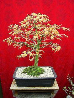 Bonsai Acer palm. Katsura