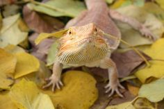 Spyro the Bearded Dragon playing in leaves. Bearded Dragon, Dragons, Leaves, Kites