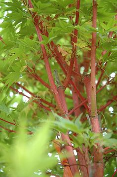 Find C Bark Anese Maple Acer Palmatum Sango Kaku In Burlington Waterdown Dundas Ontario On At Connon Nurseries Cbv