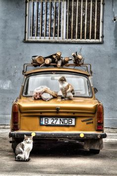 Cats on and around a yellow car in Bucharest, Romania. Looks like they're starting a gang. Funny Cats And Dogs, Cats And Kittens, Funny Cat Pictures, Dog Pictures, I Love Cats, Cute Cats, Yellow Car, Jolie Photo, Cat Art