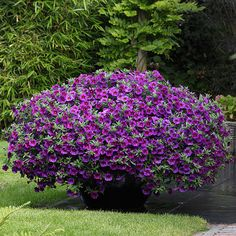 Calibrachoa 'Kabloom'. Dense branching habit; disease-resistance. Also comes in deep blue, yellow, deep pink red and white. Wow!