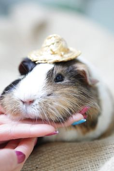 If you stroke your guinea pig under their chin, they will love it!