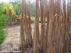 Chopos http://www.plantamus.es/venta-de-arboles-plantacion-plantones