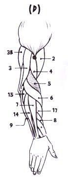 como dibujar: anatomia 2: musculos parte dos - Taringa!