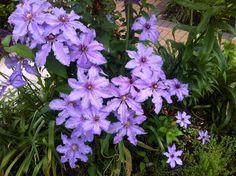 Love purple clematis!