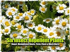 Six Insect Repellent Plants To Grow – Repel: Mosquitoes, Gnats, Ticks, Fleas & Much More… - SHTF, Emergency Preparedness, Survival Prepping,...