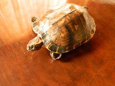Mascota Naturalizada  Tortuga morrocoyo
