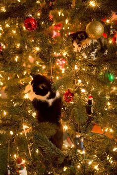 Christmas Tree Cat 9 Kittens playing in a Christmas tree Cat Christmas Tree, Christmas Kitten, Christmas Animals, Merry Christmas, Xmas, Beautiful Cats, Animals Beautiful, Cute Animals, Crazy Cat Lady