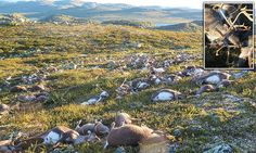 300 reindeer are killed by a single lightning strike in Norway #DailyMail | These are some of the stories. See the rest @ http://www.twodaysnewstand.com/mail-onlinecom.html or Video's @ http://www.dailymail.co.uk/video/index.html And @ https://plus.google.com/collection/wz4UXB