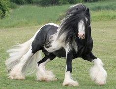 gypsy horse want one so bad