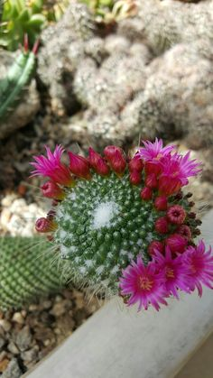 Flor de cactus - Jardim Botânico- Rio de Janeiro- Foto: Marília Vidigal Carneiro