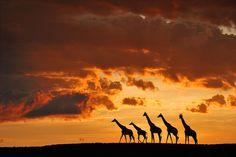 Five Giraffes Photograph