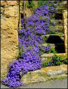 Purple Campanula [Bell Flower]