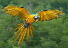 A new hope for the Blue-throated Macaw: