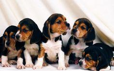 image description for beagle puppies background beagle puppies ... .