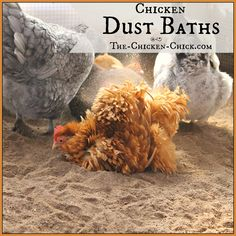 Chicken Dust Bath: The Ultimate Spa Treatment - Few chicken activities are as entertaining to humans as the dust bath. To the uninitiated, stumbling upon a dust-bathing chicken can be alarming and is often mistaken for seizure activity or death. Chickens And Roosters, Pet Chickens, Chickens Backyard, Dust Bath For Chickens, Chicken Life, Chicken Chick, Chicken Coops, Chicken Eggs, Keeping Chickens