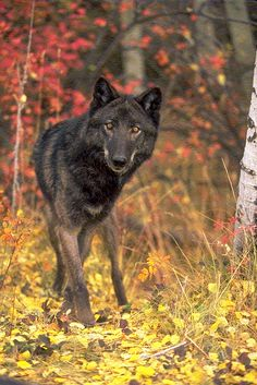 Black wolf(Canis lupus), a sub-species of the Gray wolf. Picture by earthfireinstitute. Canis Lupus, Wolf Photos, Wolf Pictures, Beautiful Wolves, Most Beautiful Animals, Wolf Spirit, My Spirit Animal, Wolf Hybrid, Wolf World