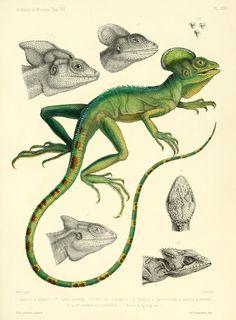 Description des reptiles nouveaux ou imparfaitement connus de la collection du Muséum d'histoire naturelle et remarques sur la classification et les caractères des reptiles. 1852